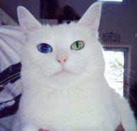 美人すぎてテレビにも出ちゃう猫!【佐世保】 Odd-eyed beauty from Sasebo 【にゃんこ】 させぼんぺっと2【オッドアイ】