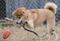 【仲良し】Shiba inu gets kissed by a whippet ウィペットに熱烈なキスを受ける柴犬 【幸太朗】【させぼ】【字幕】させぼんぺっと5