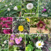 春の野花を英語で言ってみよう! Spring local wildflowers in Japanese and English! 【スズラン】【タンポポ】【シロツメクサ】【シバザクラ】